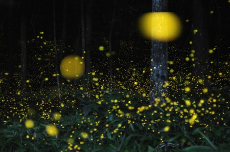 Slow-Shutter-Fireflies-2